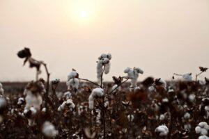 Sustainable cotton ranking