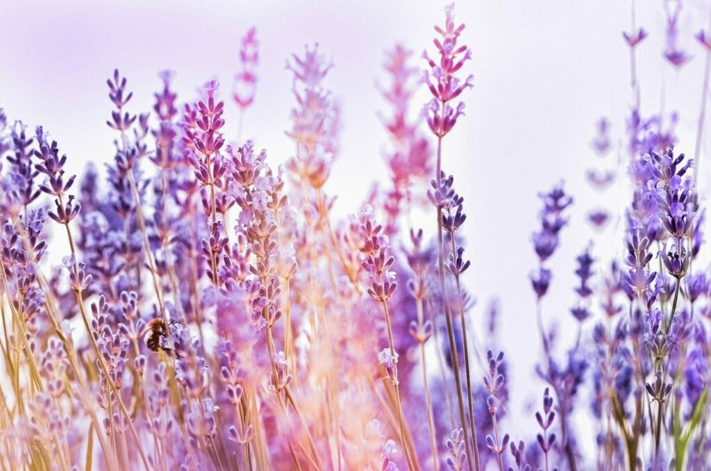 kalmerende werking van lavendel